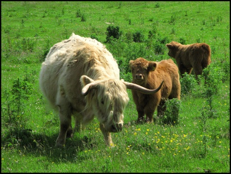 Highland cows, road to Pennyghael
