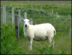 Sheep, Ardalanish
