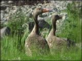 Greylag geese, Loch na Keal