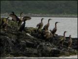 Shags, Laggan Bay