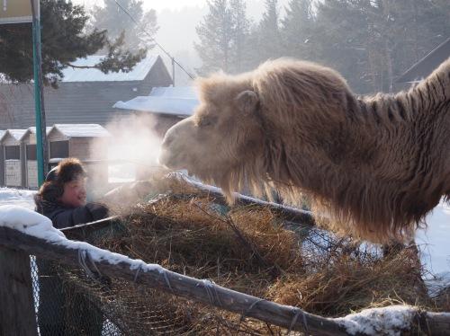 Camel Ulan-Ude Buryatia