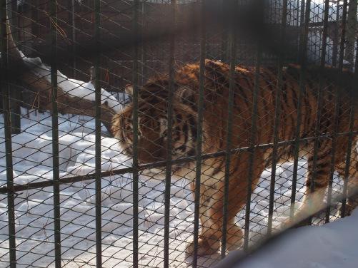 Siberian tiger Buryatia
