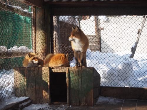 Siberian red fox